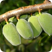 درخت بادام دیرگل اسپانیا