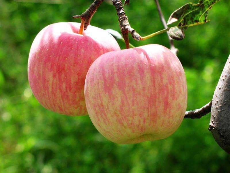 نهال سیب گلاب عروس