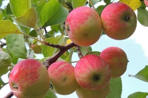 درخت سیب گلاب