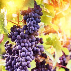 نهال انگور شامپاین شرابی