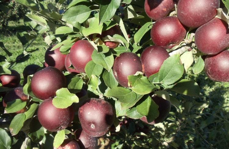 سیب میراکل در تمام جهان جزو پر مصرف ترین و پر طرفدارترین میوه ها است