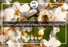 گرده افشانی بادام توسط زنبورها و افزایش باردهی محصولات